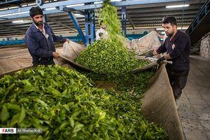 تصاویر زیبا از برداشت برگ سبز چای