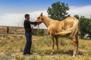 فیلم/ جشنواره زیباترین اسبهای ایرانی