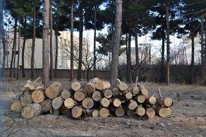 قطع 13 هزار درخت در مجموعه ورزشی آزادی!