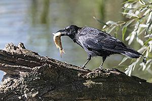 فیلم/ هوش سرشار یک کلاغ در شکار ماهی