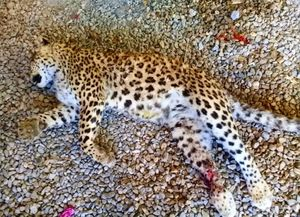 عکس/ مرگ پلنگ مازندران توسط یک دامدار