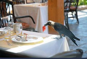 فیلم/ کلاغی که مهمان ناخوانده رستوران شد!