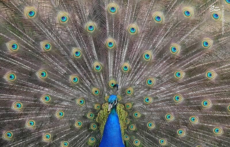 پرهای زیبای طاووس در لندن