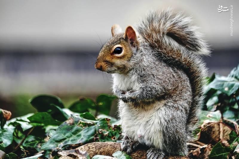 تصویری نزدیک از یک سنجاب درانگلستان