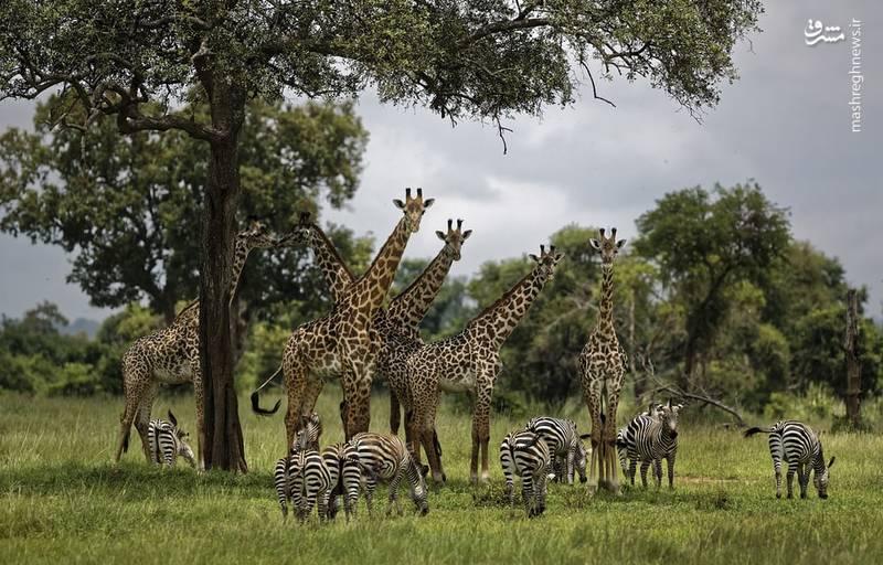 گروهی از زرافه و گورخر ها در زیر سایه یک درخت در تانزانیا