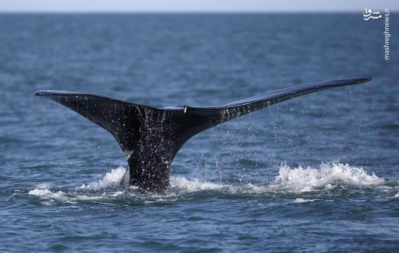یک نهنگ در شمال شرقی اقیانوس آرام