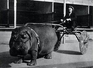 استفاده از اسب آبی برای حمل ارابه! اوایل قرن بیستم