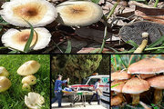 مردم قارچ فله ای و غیر پرورشی نخورند