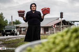 عکس/ برداشت توتفرنگی در گیلان