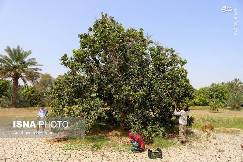 برداشت انبه سبز در باغات استان هرمزگان