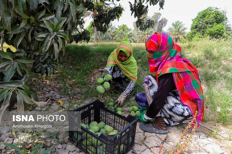 جمعآوری انبه های سبز برای انتقال به کارخانه