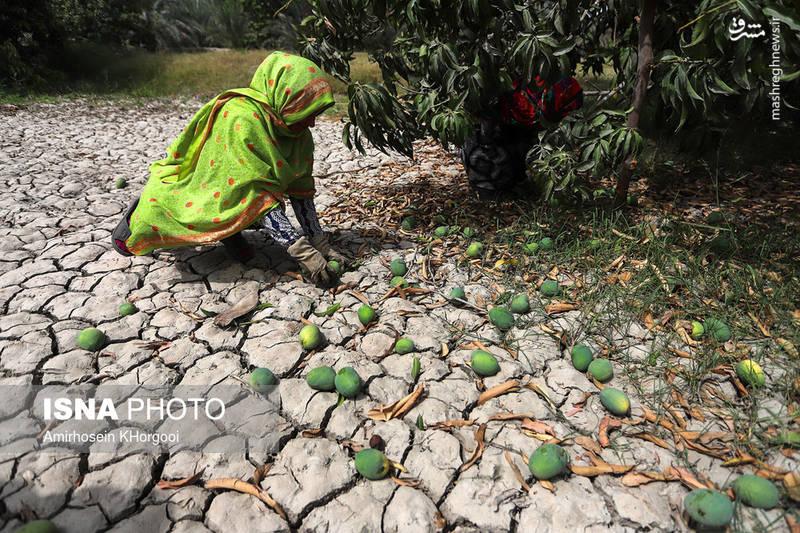 جمعآوری انبههای سبز برای انتقال به کارخانه