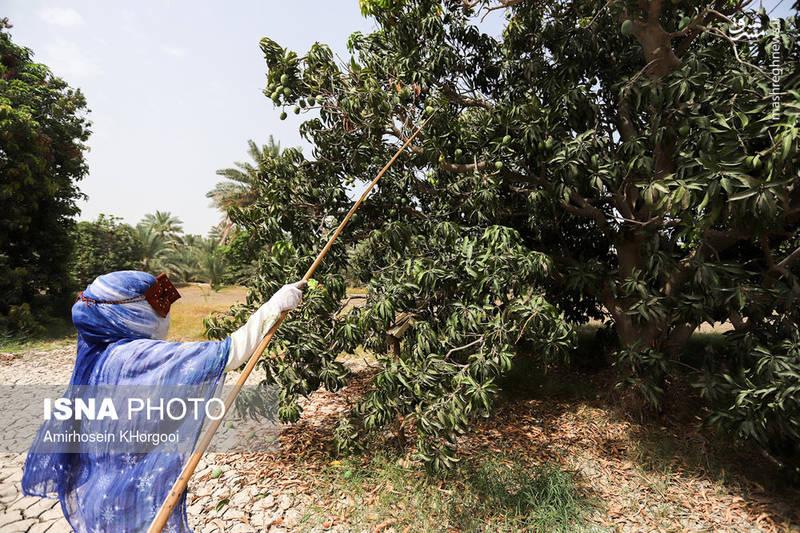به دلیل ارتفاع زیاد برخی درختان انبه کارگران با استفاده از چوبهای بلند، انبهها را از درخت جدا میکنند.