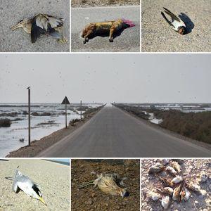 عکس/ مرگ حیوانات در جاده هورالعظیم!