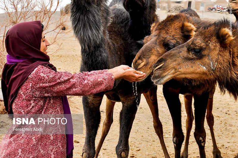 آمنه در کنار خواهر و پدرش برای تامین معاش زندگی به پرورش شتر مشغول هستند.