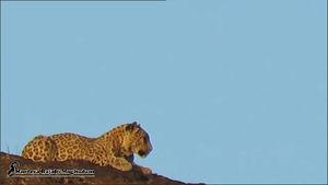 """اولین تصویر از پلنگ ایرانی در """"زاوه"""""""