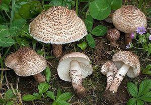مردم از مصرف قارچ پرورشی نگرانی نداشته باشند