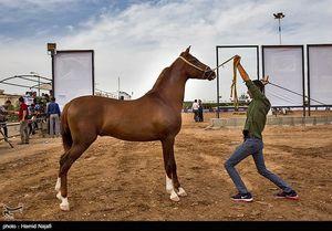 صادرات اسب اصیل ممنوع شد