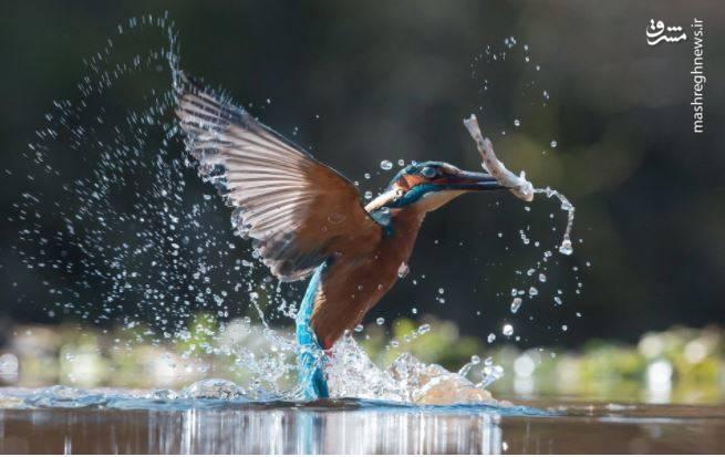 تنبیه مرغ ماهی خوار توسط اردک+ فیلم