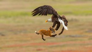 نبرد عجیب عقاب و روباه!