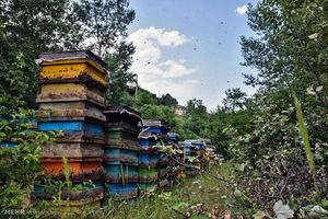 عکس/ پرورش زنبور عسل در گردنه حیران
