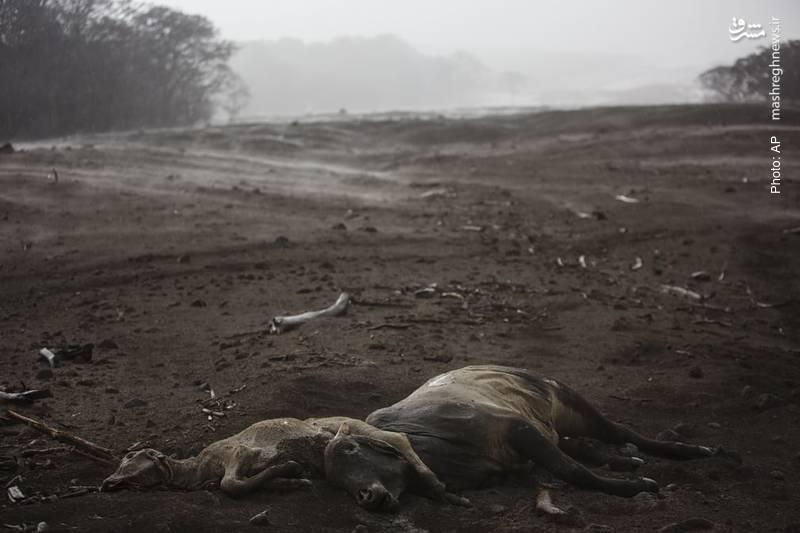 تصویر از مرگ حیوانات بر اثر انتشار خاکستر آتشفشان در گواتمالا