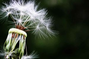 سلامت گل قاصدک
