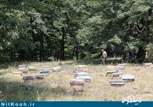 عکس/ کوچ بهاره زنبورداران به مناطق جنگلی