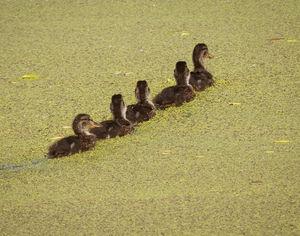 فیلم/ بافرهنگترین اُردکهای دنیا!