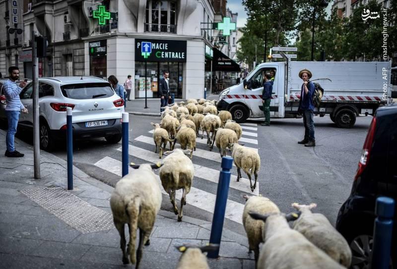 عبور گوسفندانِ یک مزرعهدارِ شهری در خیابانهای پاریس