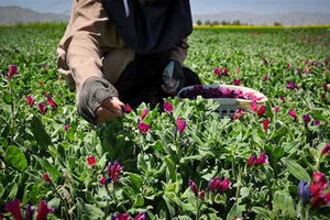 فیلم/ درآمدزایی با کشت گیاهان دارویی
