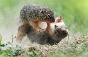 عکس/ کُشتی سنجابها