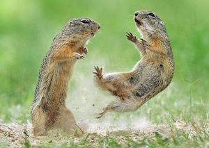 بازیگوشی سنجابها در طبیعت تهران +فیلم