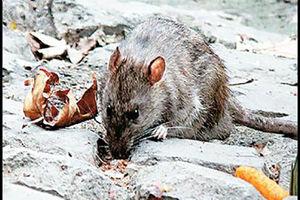 فیلم/ با شروع گرما، سر و کله موش ها در تهران پیدا شد!