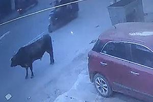 فیلم/ حمله ناگهانی گاو به یک عابر پیاده!