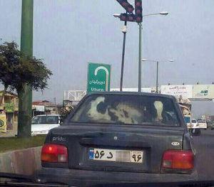 عکس/ حمل گاو با پراید!