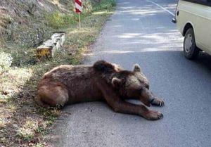 کشتار خرس با اسلحه شکاری در ارتفاعات ماسال,