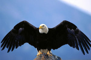 فیلم/ حمله عقاب به یک دختربچه!,