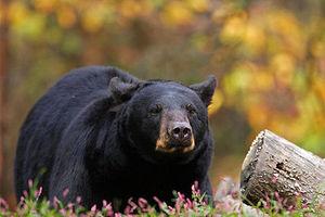 فیلم/ خرس لس آنجلسی در استخر خانگی!