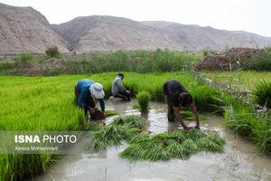 عکس/ دشواریهای شالیکاران خوزستان