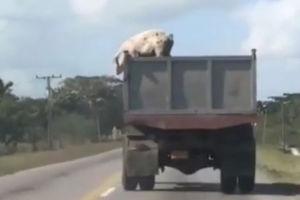 فیلم/ فرار خوک از کامیون در حال حرکت!