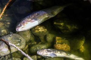 فیلم/ مرگ ماهی ها در اثر گرما