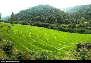 فیلمی زیبا از شالیزارهای شمال ایران