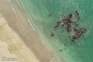 عکس/ شستشوی شترها در جزیره قشم