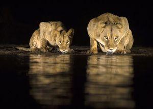 آب خوردن شیرها در شب