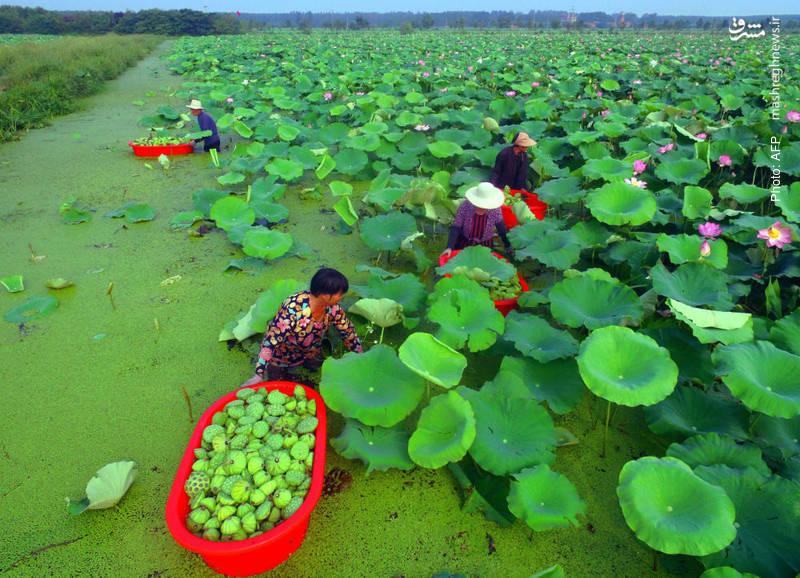 جمع آوری دانههای نیلوفر آبی در شاندونگ چین