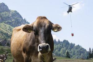 عکس/ آب رسانی به گاوها