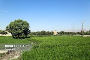 برنجکاری در کنار زاینده رود خشک!