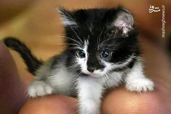عکس/ کوچکترین گربه جهان!