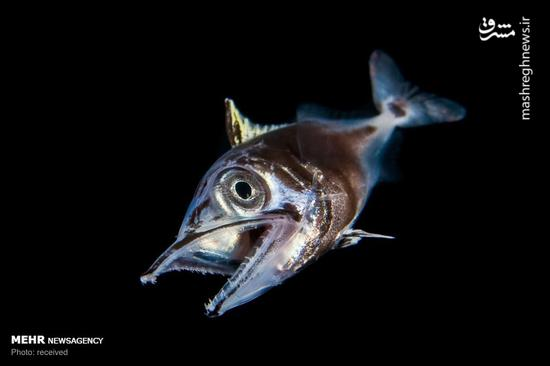 عکس/ موجودات عجیب و غریب در اعماق اقیانوس